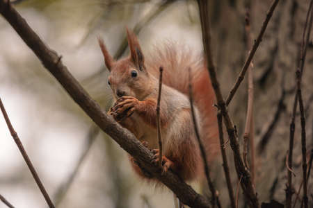Squirrel eat nuts on branch of autumn or winter tree branch 版權商用圖片