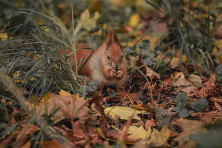 Squirrel among leafs. squirrel in the autumn forest with amid fallen yellow leaves 版權商用圖片