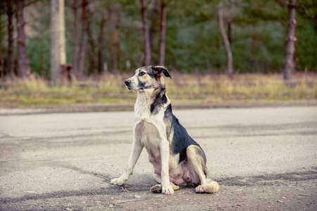homeless nursing mother dog sitting on the road in abandoned Pripyat city in Chernobyl Exclusion Zone, Ukraine