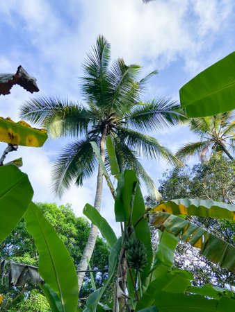 bottom view on palm tree. rainforest in Zanzibar. travel to an exotic country 版權商用圖片