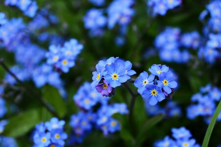 me: Forget me not Stock Photo