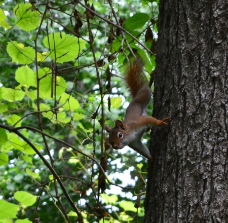 Who needs gravity when you re a squirrel    West Lafayette