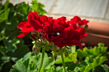 Beautiful red flower in full bloom, closeup Stock Photo