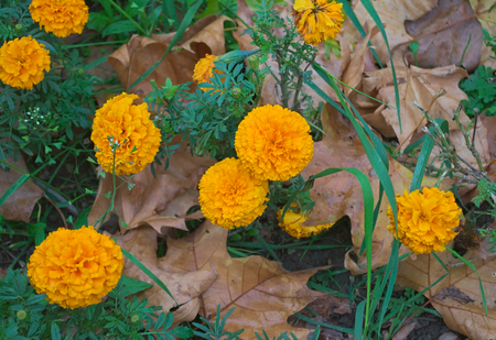 Blooming marigold among fallen leaves at autumn