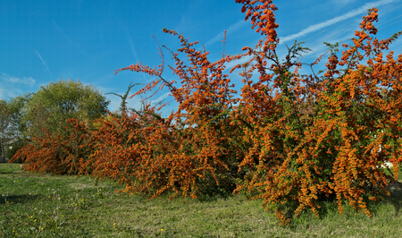 Several Sea Buckthorn trees full of berries at autumn time, close up