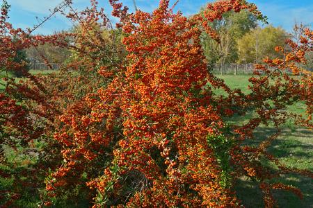 L'argousier plein de baies au moment de l'automne, Close up