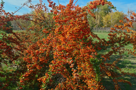 Sea Buckthorn full of berries at autumn time, close up