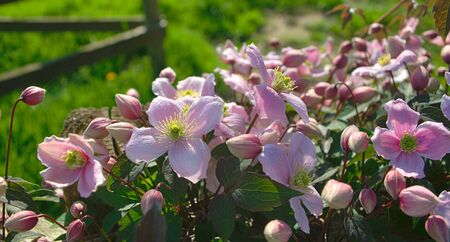 Plant full with blooming light purple flowers