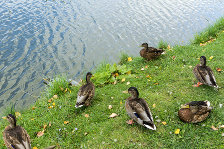 Mallard on a grassy lake shore in the heart of the city. Dwelling houses around the lake.