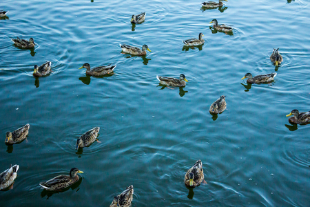 Mallard in the blue water of the lake in the city center. Dwelling houses around the lake.