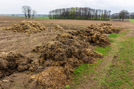 ferment: Fertilizer from cow manure and straw. Heap of manure, have been taken out on the field in early spring to fertilize fields. Podlasie , Poland .