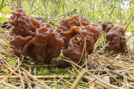 Morel - the first spring mushroom among the firs and pines . Spring forest in the middle of April. Podlasie, Poland.