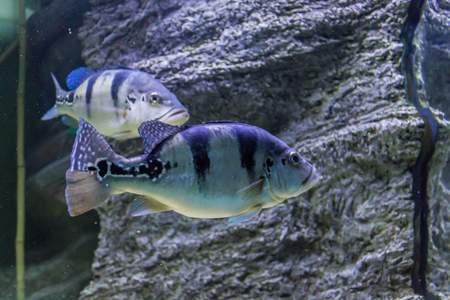 Tropical freshwater fish in the aquarium. Such fish like to draw children, artists and website designers.