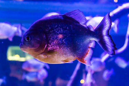 Piranha is a very dangerous fish, even in an aquarium. Children, artists and website designers are very fond to drawing such fish. Stock Photo