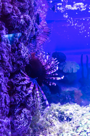 Red lionfish  , a fish of the  family Scorpaenidae,  living in an aquarium. Children, artists and website designers are very fond to drawing such fish.