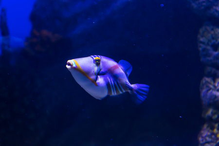 attachment: Tropical sea fish in  aquarium. Such fish like to draw children, artists and website designers.