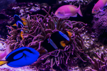 freshwater fish: Tropical sea coral fishes among the sea anemones in the aquarium. Such fish like to draw children, artists and website designers. Stock Photo