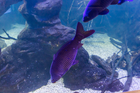 freshwater fish: Freshwater fish common carp, living in  aquarium. A good image  to drawing and design web sites about nature, rivers, lakes and fishing. Stock Photo