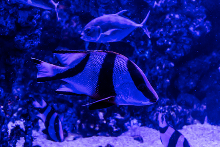 attachment: Fish, living among the corals in the tropical seas, in an aquarium with sea water. A beautiful image for children, artists and web designers.