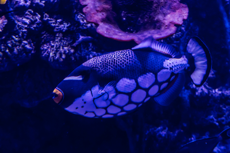 aquarium hobby: Fish, living among the corals in the tropical seas, in an aquarium with sea water. A beautiful image for children, artists and web designers.