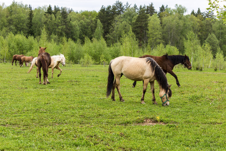 Buckskin horse with black mane ,  and Bay horses grazing in the meadow .A warm summer day in a large pasture near the forest.