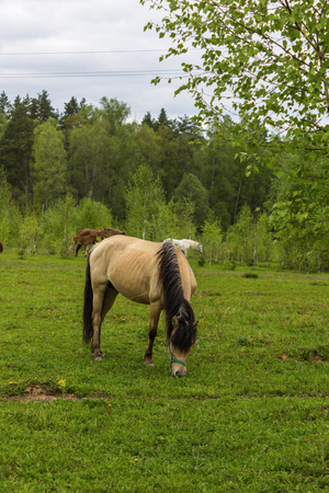 Buckskin horse with black mane grazing in the meadow .A warm summer day in a large pasture near the forest.