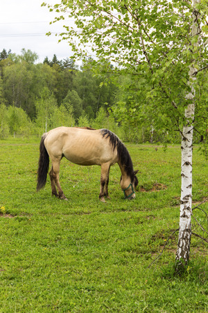 Buckskin horse with black mane grazing in a meadow near birch .A warm summer day in a large pasture near the forest.