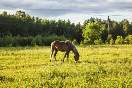 Buckskin horse with a yellow mane grazing in the meadow  .A warm summer day in a large pasture near the forest.