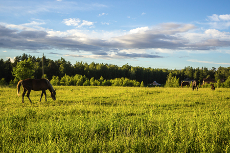 Buckskin horse with a yellow mane grazing in the meadow . A warm summer day in a large pasture near the forest.