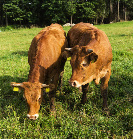 red heifer: Bull and heifer, with a brown skin color. They stand in menacing poses with their heads down. Late summer. Podlasie, Poland.