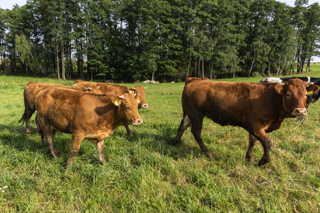 red heifer: Bull and heifers, with a brown skin color, go through the meadow. Late summer. Podlasie, Poland.