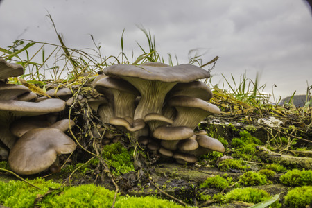 Oyster mushroom. Edible gray-violet mushrooms, Pleurotus ostreatus, among the grass on the tree stump. Excellent photo for your site about the kitchen, mushrooms, forest and nature.