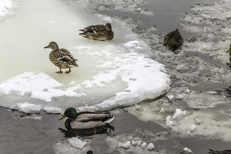 Wild ducks living among ice floes. Winter, cold water, ice. Photo for the site about birds, nature, seasons, the Arctic.