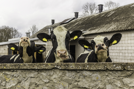 Three heifers, with yellow identification tags in their ears,what  standing behind the stone wall. Dairy farm in Podlasie, Poland. Banco de Imagens
