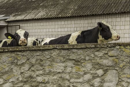 Two heifers, with yellow identification tags in their ears, what standing behind a stone wall. Dairy farm in Podlasie, Poland.