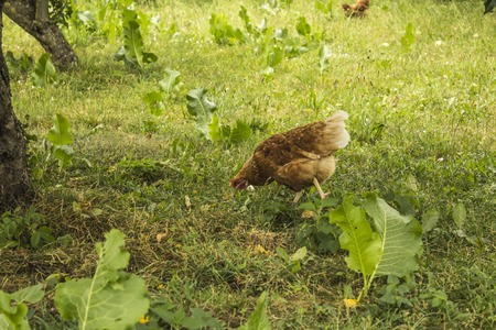 Variegated hen graze in the garden of a rural farm. Hen of meat eggs breed. A good photo for the site about farming, farm, ranch, animals, birds.