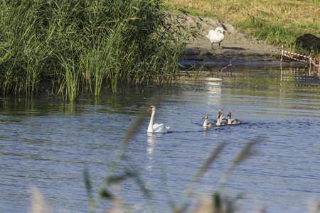 A brood of swans, consisting of a swan mother and four baby swans, floats along the river near the reeds. Site about nature, wild life, birds, family.