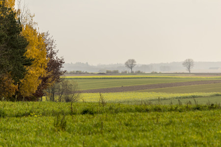 Late autumn. Yellow-green mustard field. Trees in the foreground. Forest in the fog in the background.The site is about agriculture. Podlasie, Poland. Standard-Bild