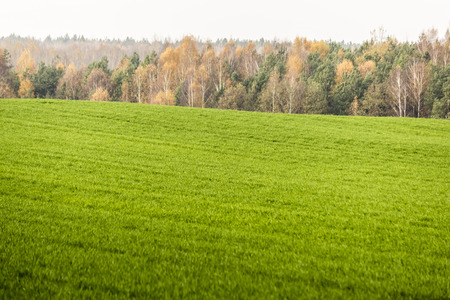 Late autumn. Green meadow in the foreground. Forest with yellow trees in the background. Site about nature and agriculture. Podlaskie, Poland.