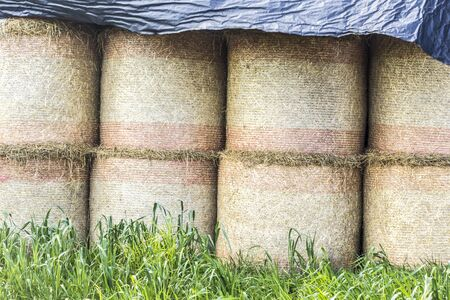 Cylindrical bales of straw are covered from the rain with a black plastic membrane . Industrial dairy farm. Podlasie, Poland.