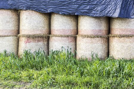 Cylindrical bales of straw are covered from the rain with a plastic membrane . Industrial dairy farm. Podlasie, Poland.