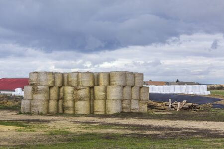 Cylindrical straw bales lie in the open. Against the background of a dairy farm. Podlasie, Poland.