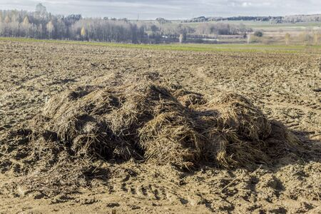 A large pile of dung lies on a plowed field. Fertilizer fields on a dairy farm. Podlasie. Poland.