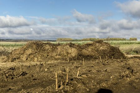 A large pile of cow manure and straw lies on a plowed field. Fertilizer fields on a dairy farm. Podlasie. Poland. Stock Photo
