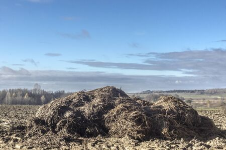 Sunny day. A large pile of cow manure and straw lies on a plowed field. Fertilizer fields on a dairy farm. Podlasie. Poland.