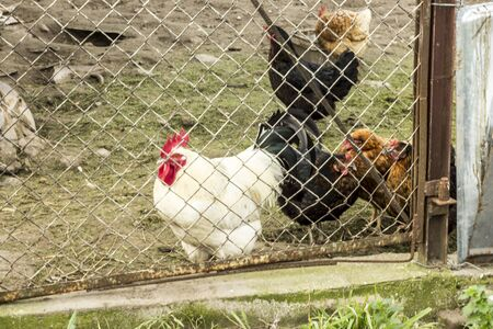 White rooster and hens behind a metal mesh. Yard of an agricultural farm. Podlasie. Poland.