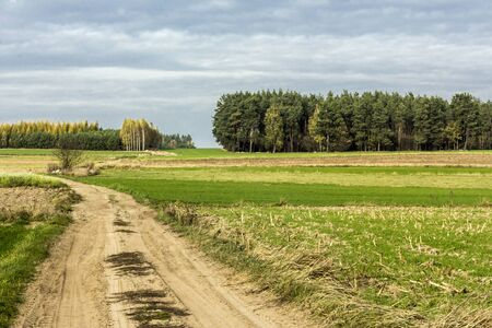 Late autumn. A dirt road goes through green fields into a pine forest. Forest in the background. Dairy farm. Podlasie, Poland.