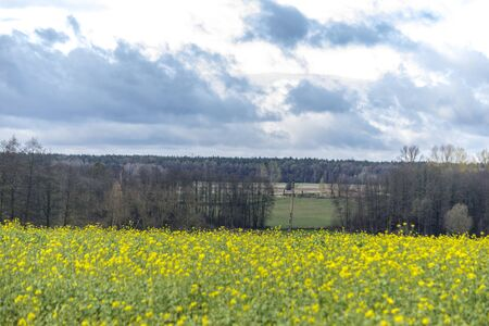Late autumn .Yellow rapeseed flowers. Close-up. Forest in the background. Podlasie, Poland.