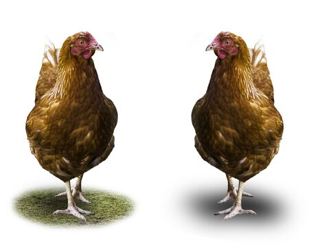 Two brown hens are isolated on a white background. Shade and green grass. Good photo for the site about agriculture, the village, birds. Standard-Bild - 136008206