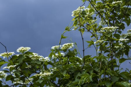 Spring in the village . Fresh green foliage and white flowers on the shrub . Blue stormy sky in the background.